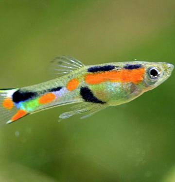 Endlers-Guppy-Fish