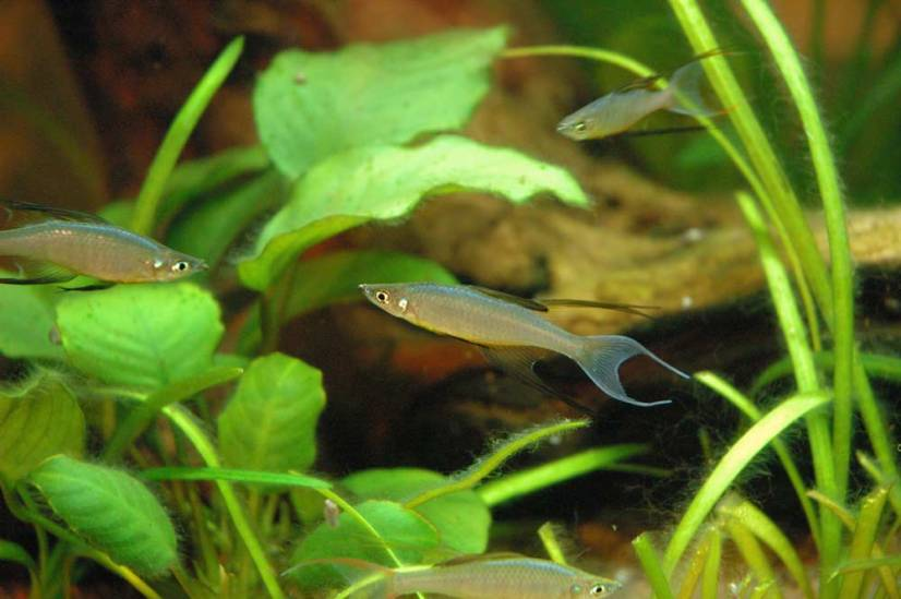 Threadfin Rainbowfish