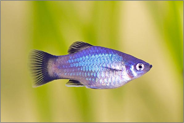 Blue Mickey Mouse Platy