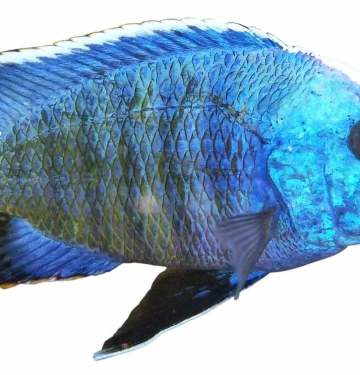 blue perch