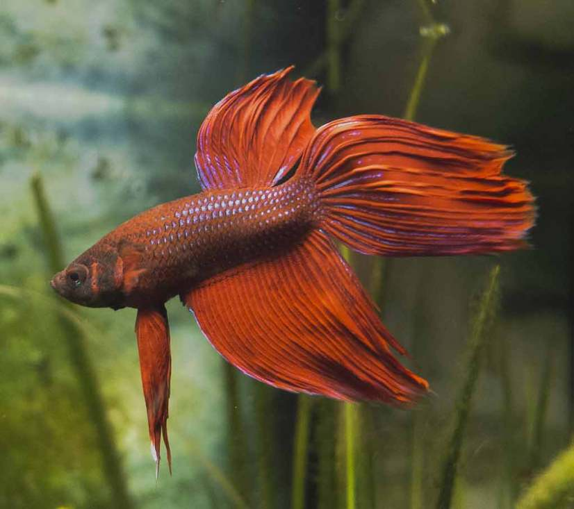 Compatible Fish with Betta