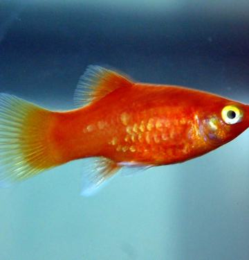 Red Mickey Mouse Platy