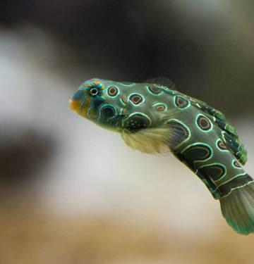 Picturesque dragonet