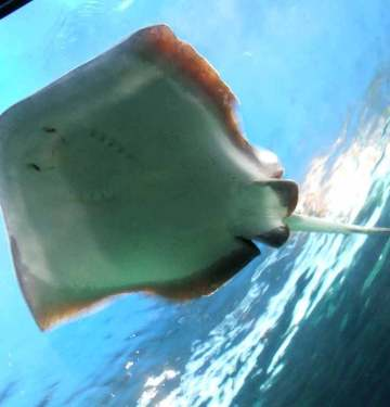devil ray fish