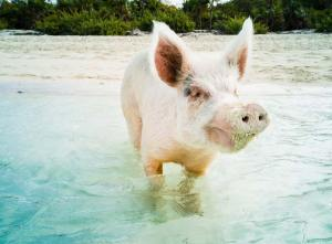Beach pig shot on SeaLife underwater camera