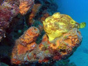 Yellow frogfish shot on SeaLife underwater camera