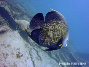 Queen angelfish shot on SeaLife underwater camera
