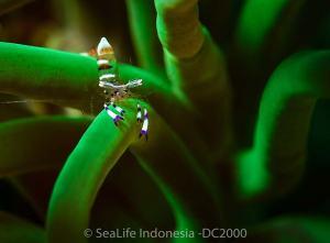Cleaner shrimp shot on SeaLife underwater camera