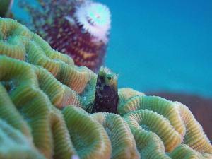 Blenny shot on SeaLife underwater camera