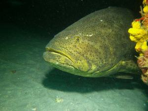 Goliath grouper shot on SeaLife underwater camera