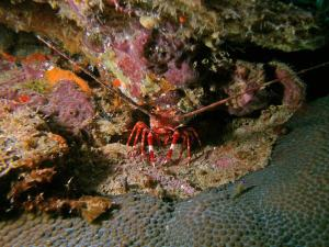 Red banded lobster shot on SeaLife underwater camera