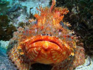 Scorpionfish shot on SeaLife underwater camera