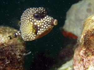 Spotted trunkfish shot on SeaLife underwater camera