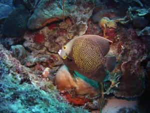 French angelfish shot on SeaLife underwater camera