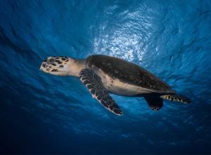 Loggerhead turtle shot on SeaLife underwater camera