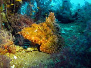 Stonefish shot on SeaLife underwater camera