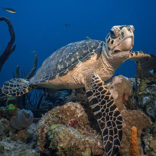 sea turtle underwater photograph sealife dive camera