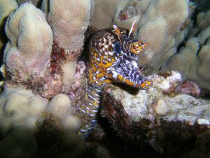 Christopher Hurst - DC1400 - Dragon Moray Eel
