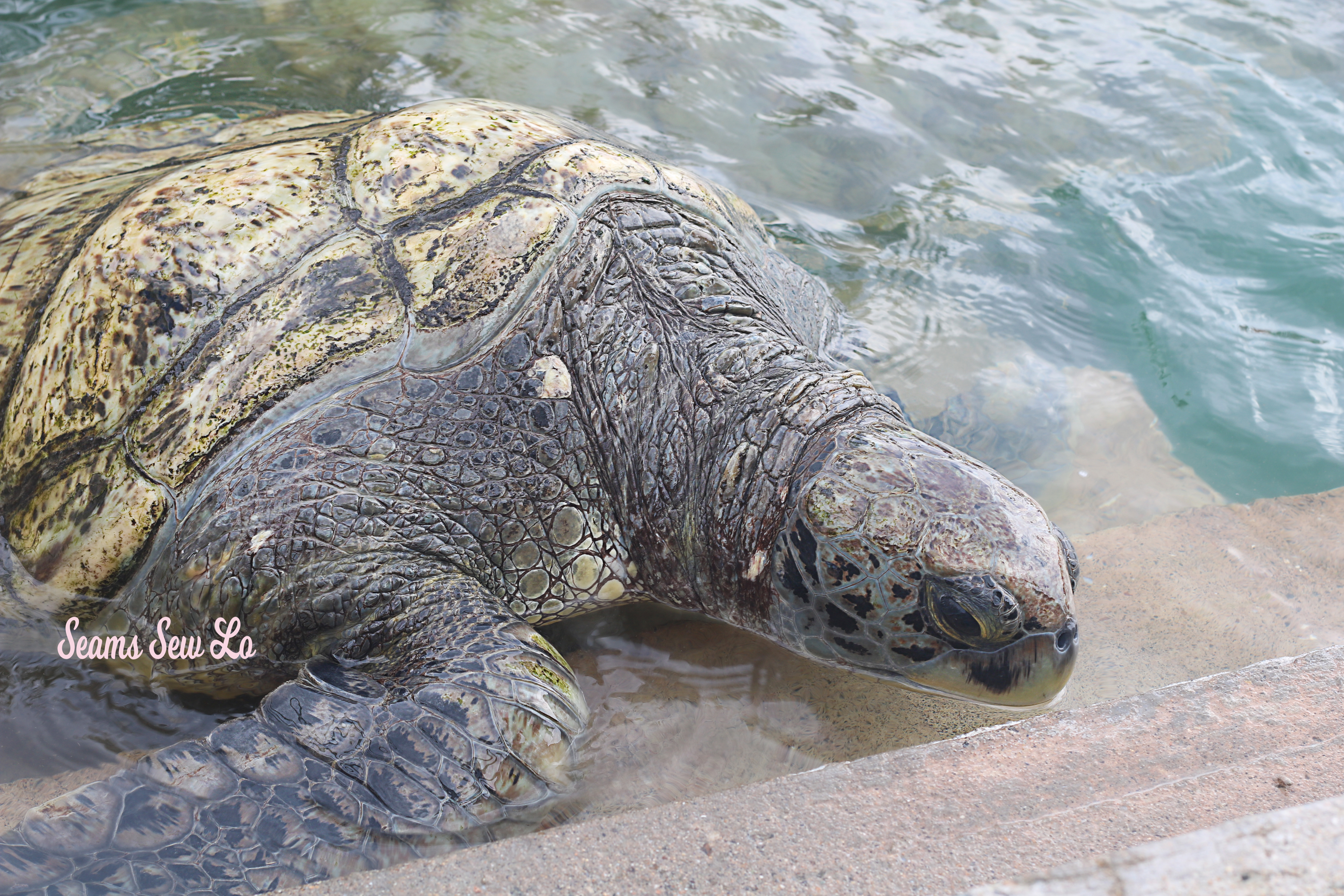 Large Turtles at the Cayman Turtle Center