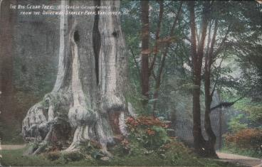 1908 - Big Cedar Tree Postcard