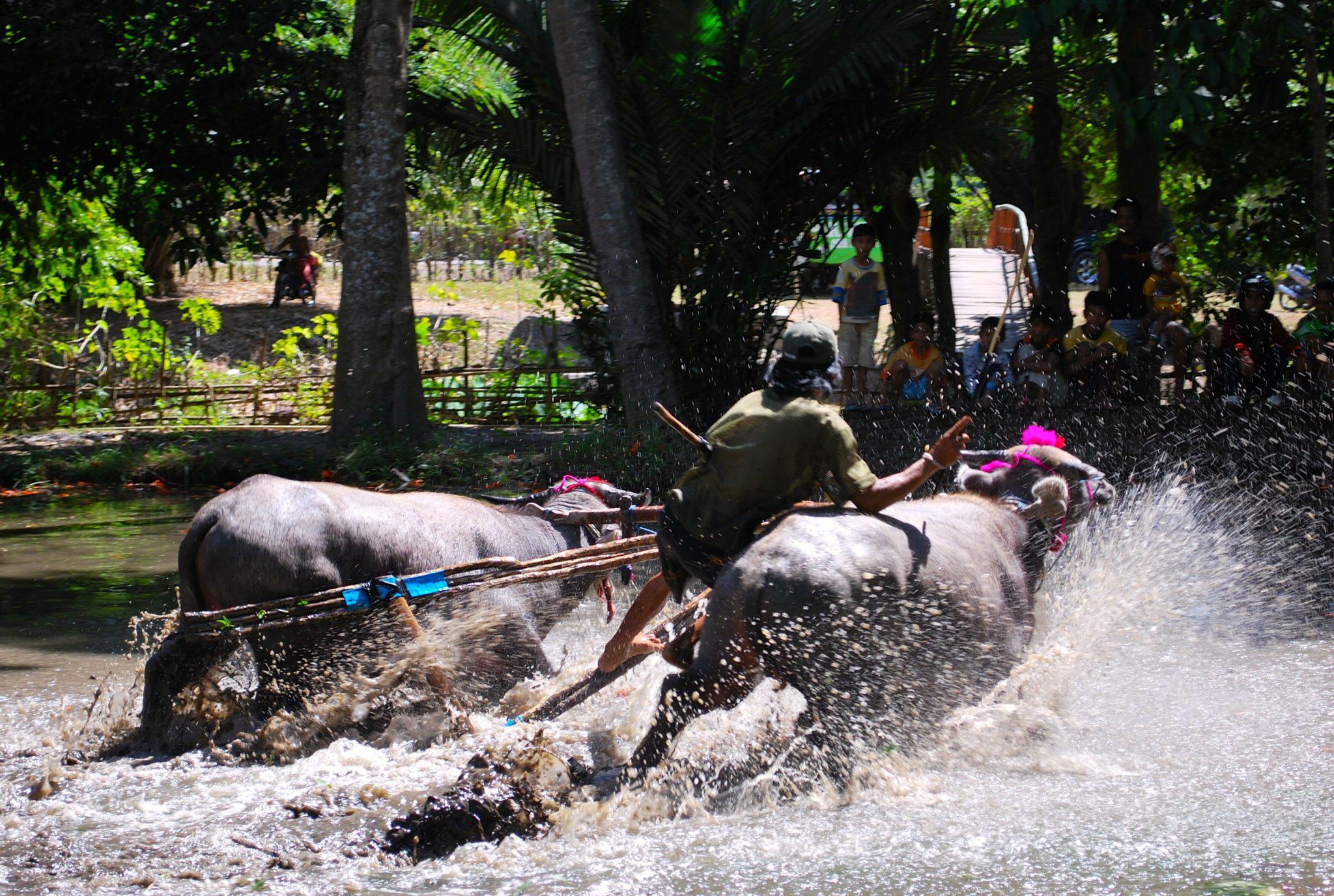 Sumbawa bull racing MSY Mutiara Laut