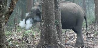 Imagens de elefante que 'fuma' viralizam e intrigam cientistas