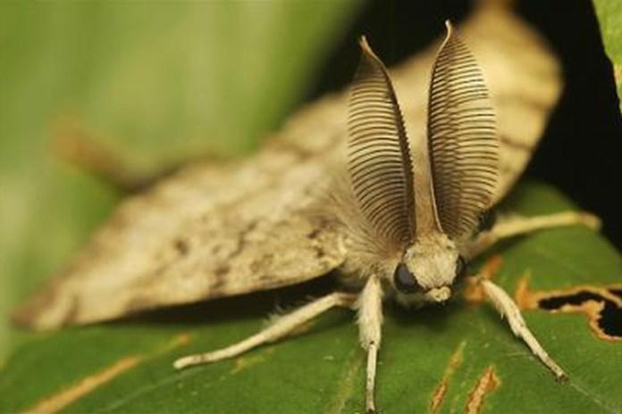 As mariposas ciganas podem, por exemplo, desfolhar árvores por completo.