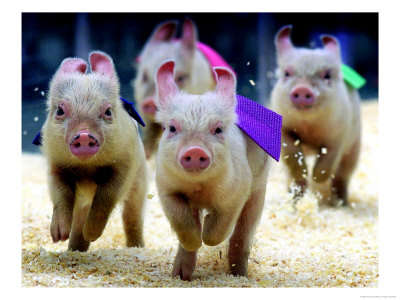 personaluse_5952005a-group-of-eight-week-old-pigs-race-to-the-finish-line-during-the-sue-wee-pig-races-posters.jpg