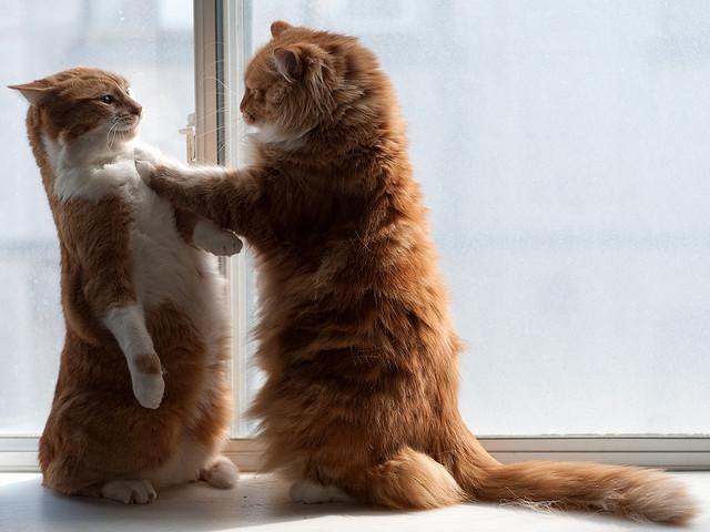 diet-program-cats