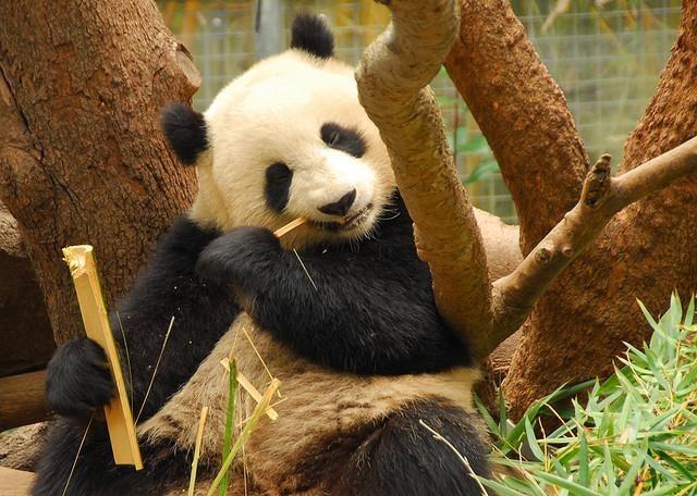 panda-eating