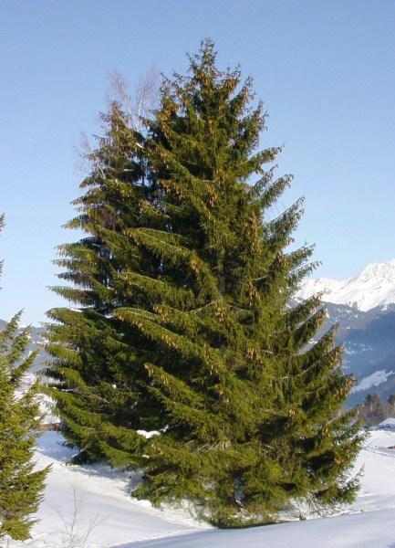 evergeen tree