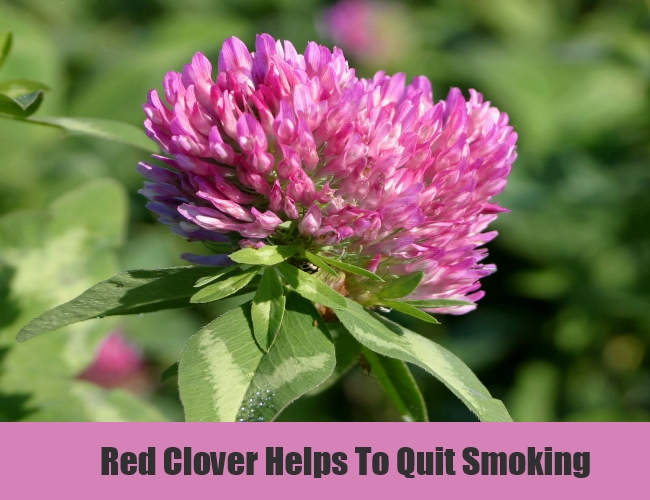 Red Clover Helps To Quit Smoking
