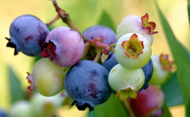 Use of Blueberries