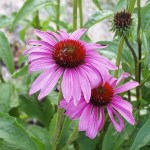Echinacea & Keeping Cleanliness