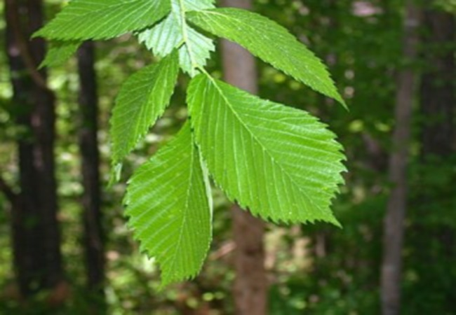 Slippery Elm To Improve Digestion