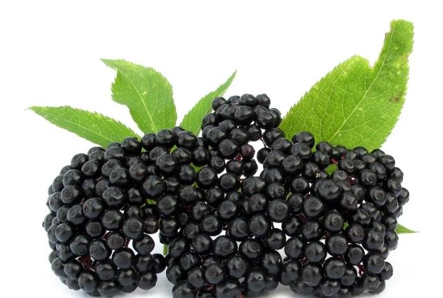 Elderberries (Sambucus)