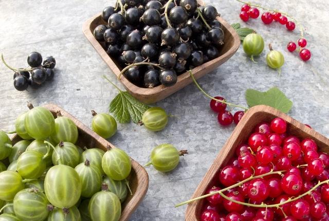 Gooseberries ( Ribes uva-crispa)