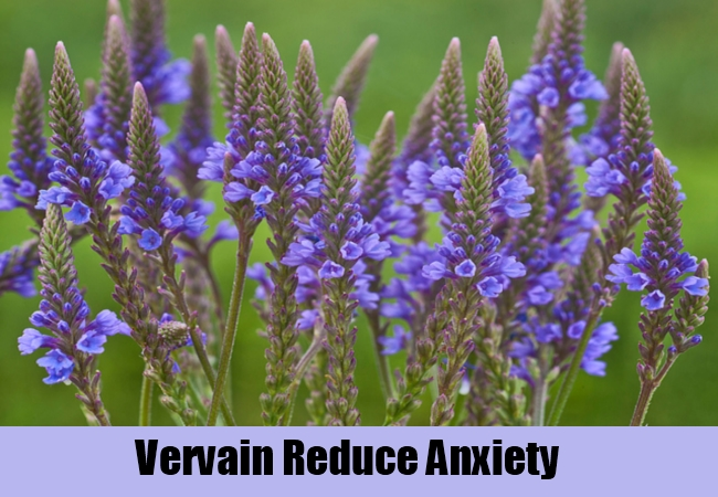 Vervain Reduce Anxiety