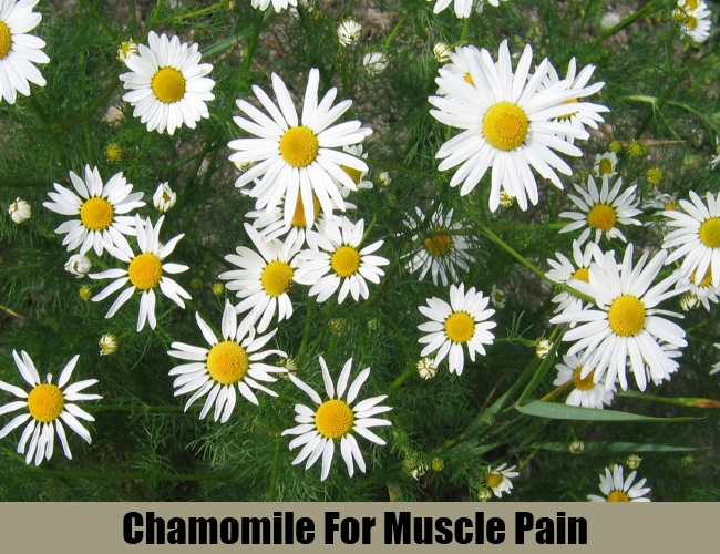 Chamomile For Muscle Pain