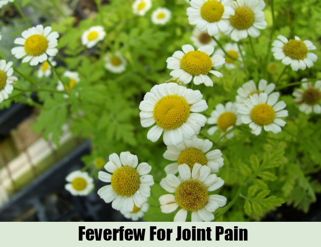 Feverfew For Joint Pain