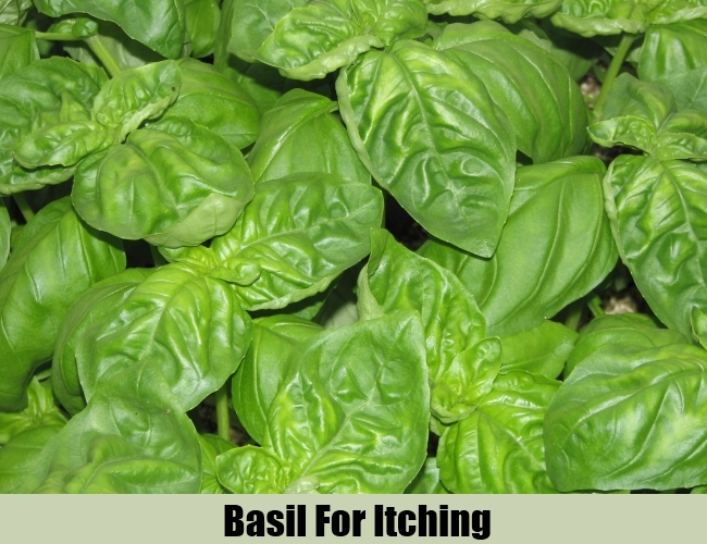 Basil For Itching