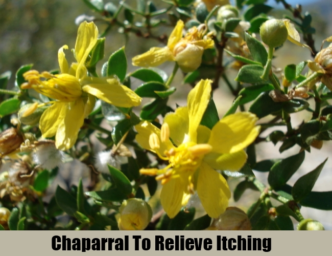 Chaparral To Relieve Itching