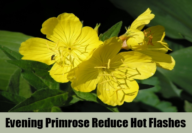 Evening Primrose Reduce Hot Flashes