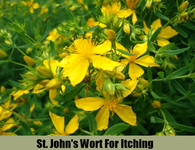 St. John's Wort For Itching