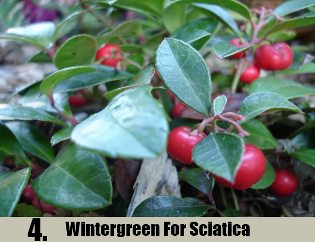 Wintergreen For Sciatica