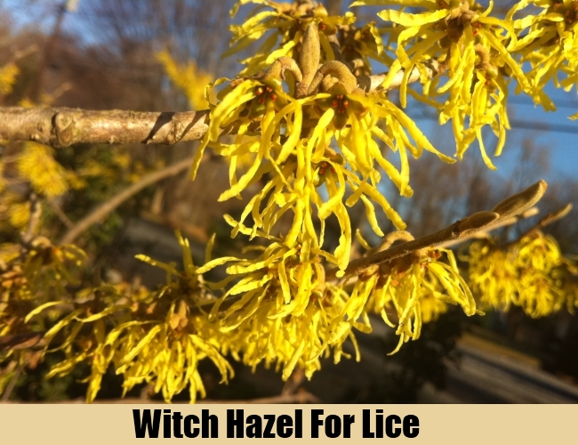 Witch Hazel For Lice