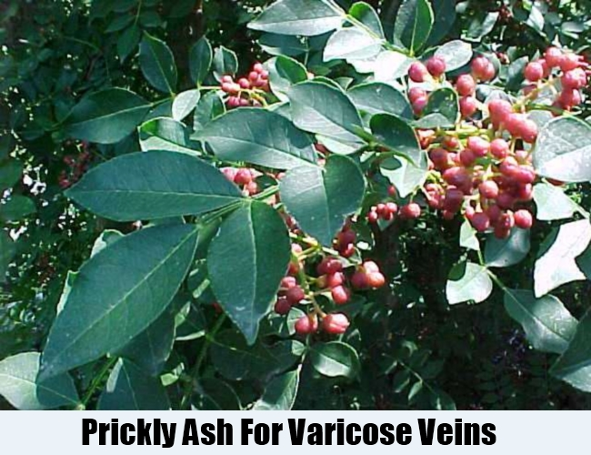 Prickly Ash For Varicose Veins