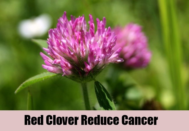Red Clover Reduce Cancer