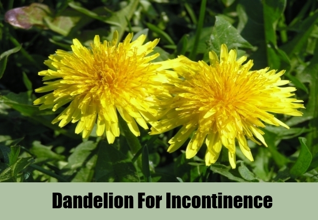 Dandelion For Incontinence