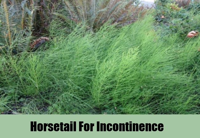 Horsetail For Incontinence